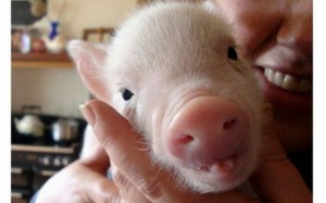 No . . . not a baby pig